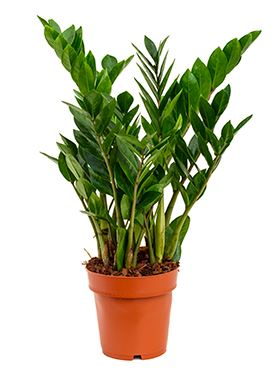 Zamioculcas zamiofolia tuft 6/tray R17 V65 cm