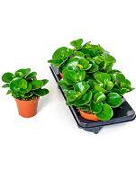 Peperomia obtusifolia green 6/tray R12 V20 cm