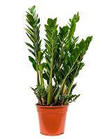 Zamioculcas zamiifolia tuft R27 V100 cm