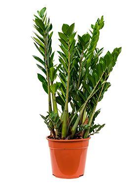 Zamioculcas zamiofolia tuft R27 V80 cm