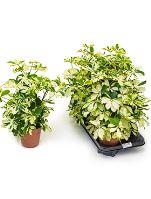 Schefflera arboricola charlotte 6/tray R17 V45cm