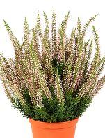 Umelá rastlina erica bush tuft, V35 cm, v plastovom črepníku