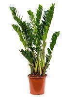 Zamioculcas zamiifolia Tuff R21 V80cm
