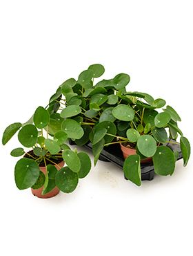Pilea peperomioides 6/tray R12 V25 cm