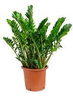 Zamioculcas zamiofolia tuft R34 V100 cm