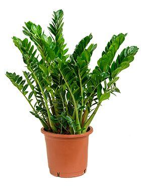 Zamioculcas zamiifolia tuft R34 V100 cm