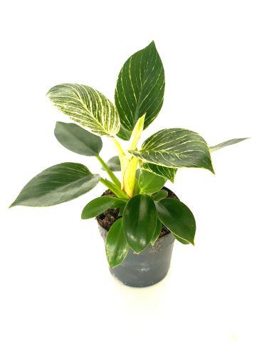 Philodendron Birkin (White Measure) R11 V35cm