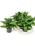 Aglaonema maria 8/tray R14 V30 cm