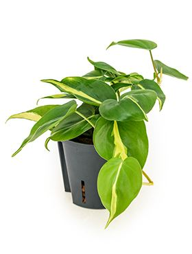 Philodendron grand brasil hanging plant 13/12