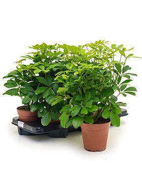 Schefflera arboricola nora 6/tray tuft R13 V45cm