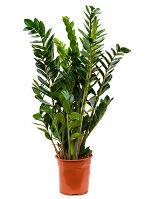 Zamioculcas zamiofolia tuft R24 V90 cm