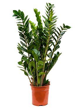 Zamioculcas zamiofolia tuft R24 V105cm