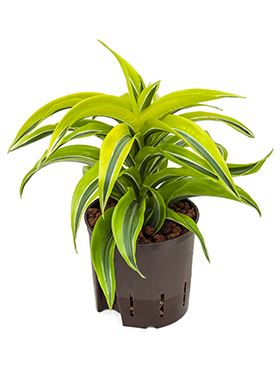 Dracaena lemon surprice head 13/12