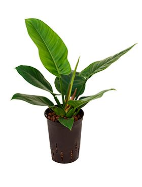 Philodendron imperial green 15/19 V45 cm