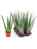 Aloe vera barbadensis 6/tray R12 V35cm