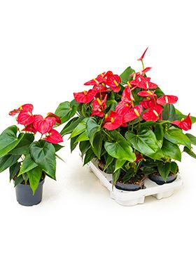 Anthurium and. sierra red 6/tray červená R12 V40 cm