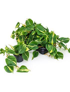 Philodendron brasil 10/tray hanger R12 V20 cm