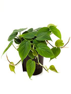 Philodendron scandens hanger 15/19