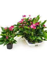 Anthurium and. cirano 6/tray R12 V40 cm